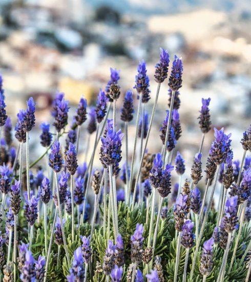Lavenders Flowers Nature Purple  - enriquelopezgarre / Pixabay